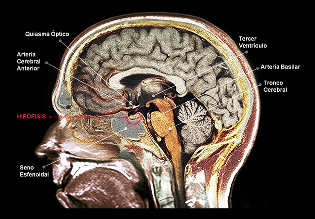 La glándula hipófisis