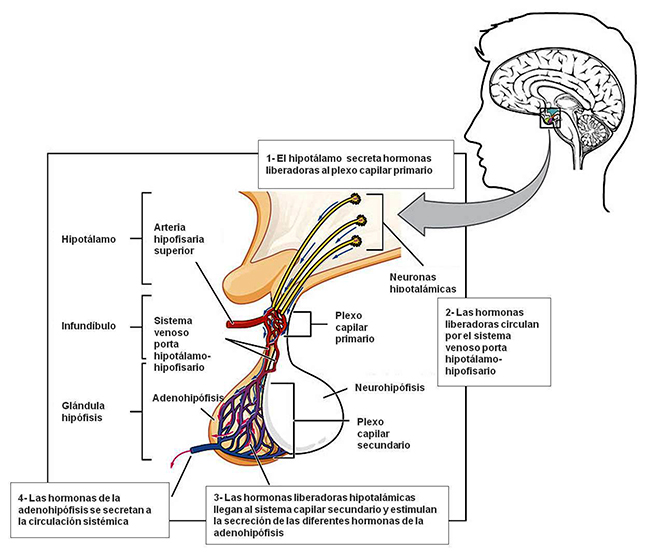 efectos de las hormonas esteroides